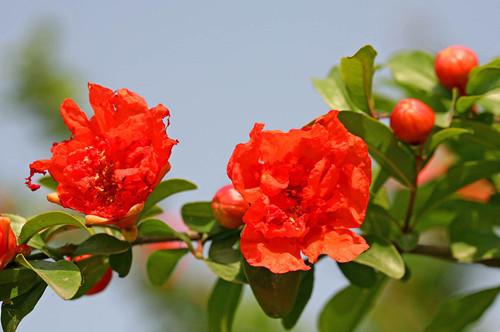 石榴树栽种几年能开花结果呢?只开花不结果怎么办?
