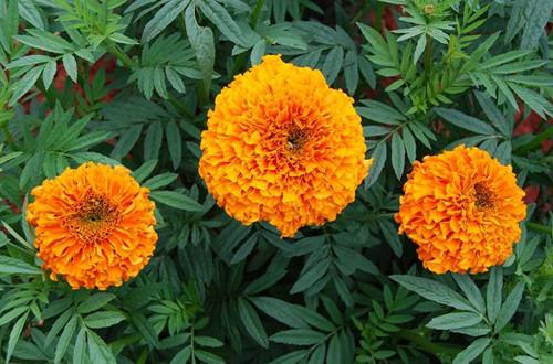 万寿菊怎么养护?万寿菊的养殖方法和注意事项有哪些?