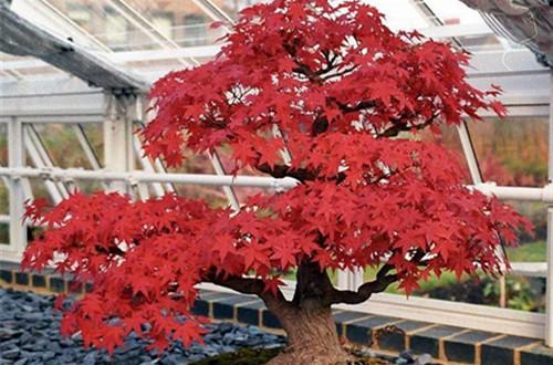 火红的日本红枫怎么养护?注意这