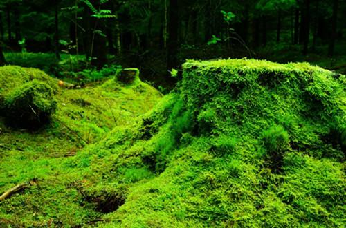 盆栽青苔也是需要养护技巧的,怎