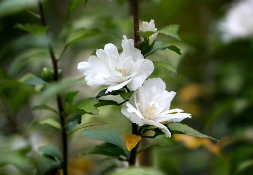 马来西亚国花—扶桑