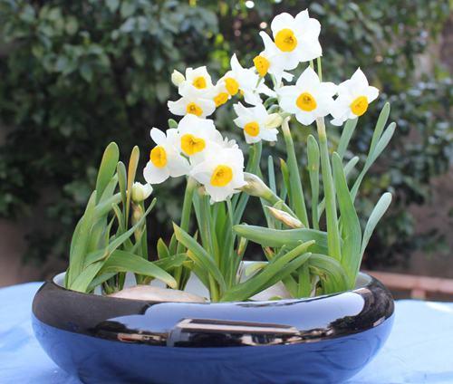 水仙花有哪些作用和功效?