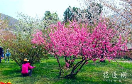 樱花的繁殖技术