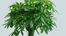 发财树的风水作用