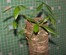 发财树怎么修剪 发财树修剪图文教程