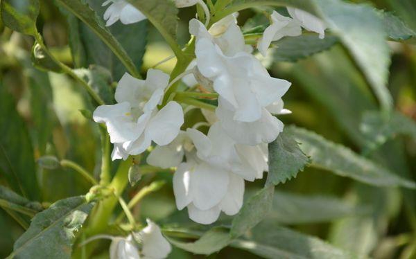 凤仙花图片
