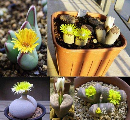 花卉种植生石花养殖方法及其注意事项