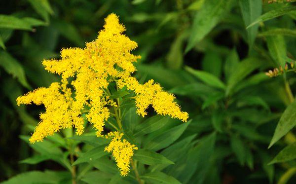 一枝黄花图片