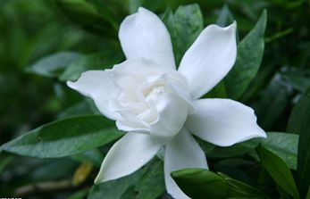 【栀子花】栀子花养殖方法_栀子花叶子发黄