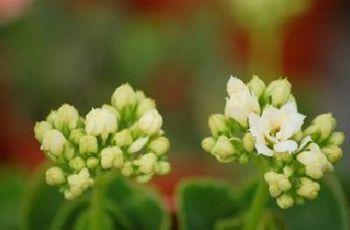 【长寿花】长寿花养殖方法_长寿花资料