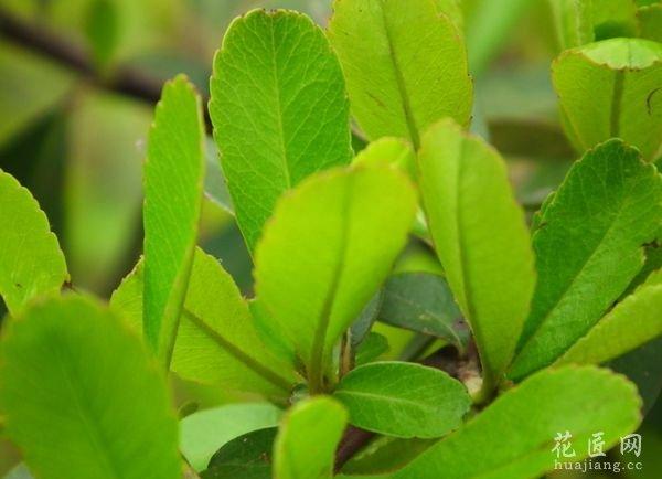 大叶黄杨树图片
