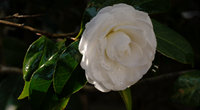 山茶花的花语是什么呢?