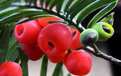 红豆杉养护的五大养护要点