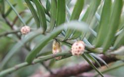 提高红豆杉种子发芽率的诀窍有哪些?