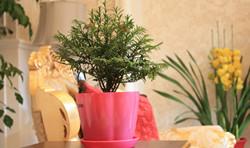 红豆杉盆景的制作以及管理