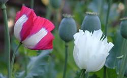 罂粟花的栽培技术以及采摘方法解析