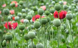 罂粟花的功效与作用有哪些?