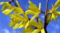 迎春花与连翘的区别