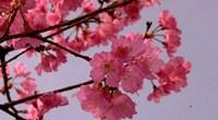 山樱花的花语