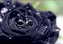 黑玫瑰的花语 黑玫瑰传说故事