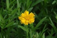 黄色康乃馨花语
