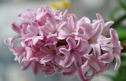 粉红色风信子的花语