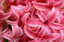 红色风信子的花语