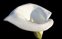 白色马蹄莲花语及其故事