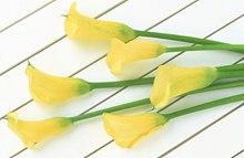 黄色马蹄莲花语是什么?
