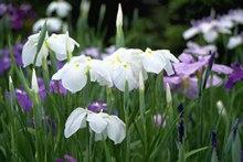 白色鸢尾花以及紫色鸢尾花花语