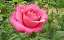 月季花花语是什么?