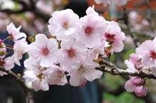 山樱花花语 西洋樱花花语