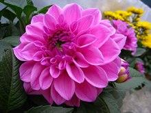 红牡丹花语 紫牡丹花语