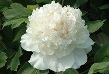 白牡丹花语 绿牡丹花语