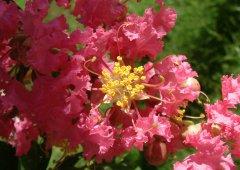 九月阳台花卉紫薇的管理方法