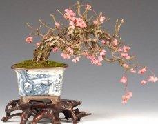 梅花盆景养护与观赏