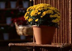 养好家庭盆栽菊花的关键环节