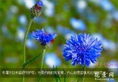 白羊座的守护花,矢车菊花语
