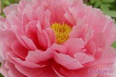 花中之王是什么花?百花之王牡丹花