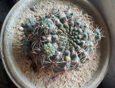 绯花玉繁殖方法