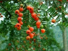 红豆杉药用价值