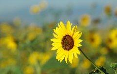 向日葵栽养殖方法和注意事项