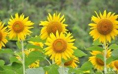 观赏向日葵的栽培方法