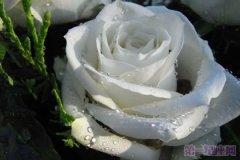 【玫瑰花语】洛丽玛丝玫瑰花语