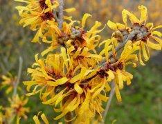 花卉与健康 金缕梅药用价值