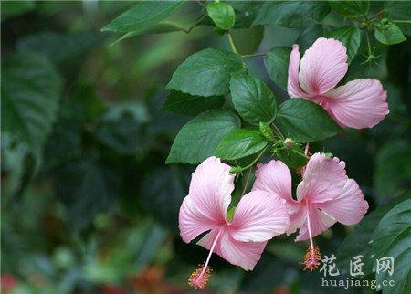 扶桑花的习性与繁殖