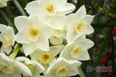 3月7日花语:野生水仙花,生日花语名誉