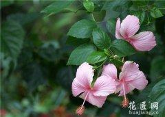 让扶桑开花:扶桑花的养护方法