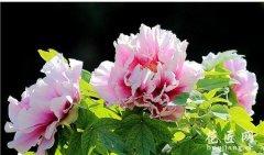 牡丹花如何种植?