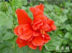 扶桑花的栽培与管理
